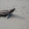 Sea Turtle Suite