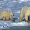 Polar Bear Adventure